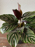 "Calathea Ornata ""Pinstripe"", Choice of Size"