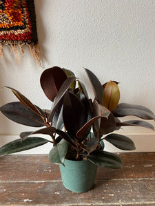 "Ficus Elastica Burgundy- ""Rubber Tree"", 6"""