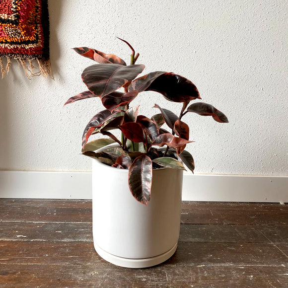 Ficus Elastica Ruby Red w/ Porcelain Pot, Choose Size