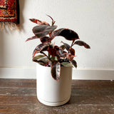 "Ficus Elastica Ruby Red w/ 8.5"" Porcelain Pot, Choice of Pot Color"