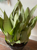 Sansevieria Moonshine, Choose Size