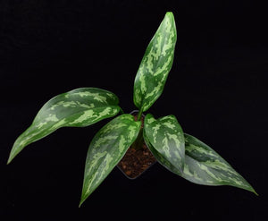 Overhead view of the leaves of Aglaonema 'Maria' Chinese Evergreen.