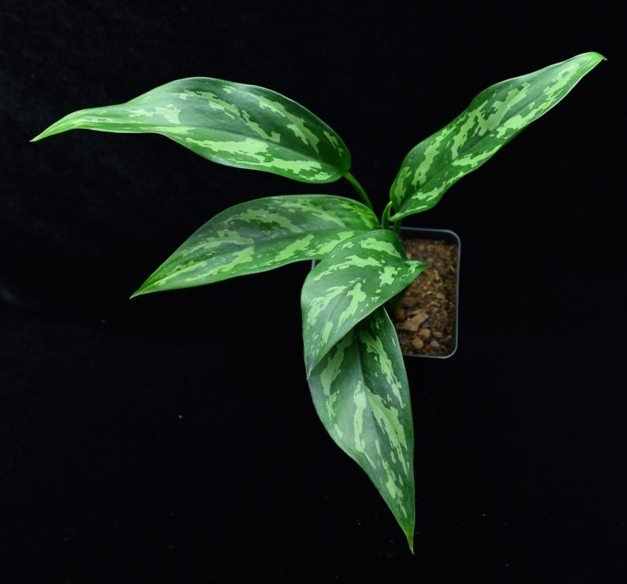 View of leaf pattern and coloration of Aglaonema 'Maria' Chinese Evergreen