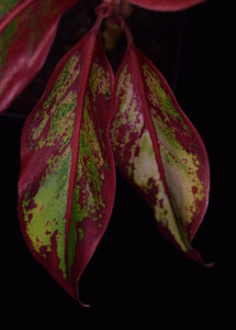 Close up of leaf coloration of Aglaonema 'Siam Aurora' Chinese Evergreen