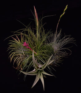 Group of air plants in bloom, assorted Tillandsia species. Ionantha, stricta, capitata, and rectifolia.