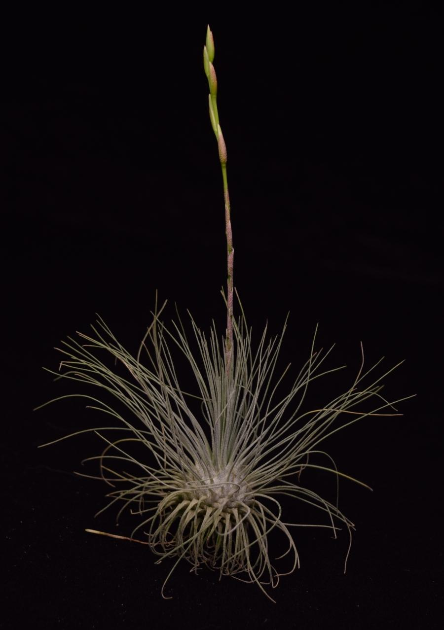 Air plant Tillandsia fuchsii var. gracilis about to bloom.