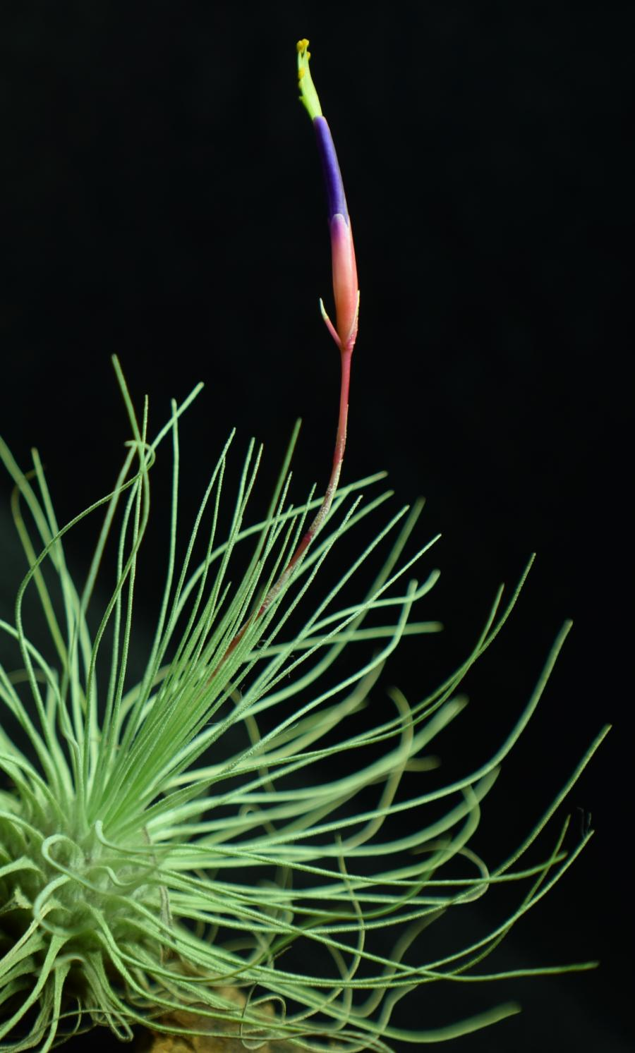 Air plant Tillandsia fuchsii var. gracilis in bloom.