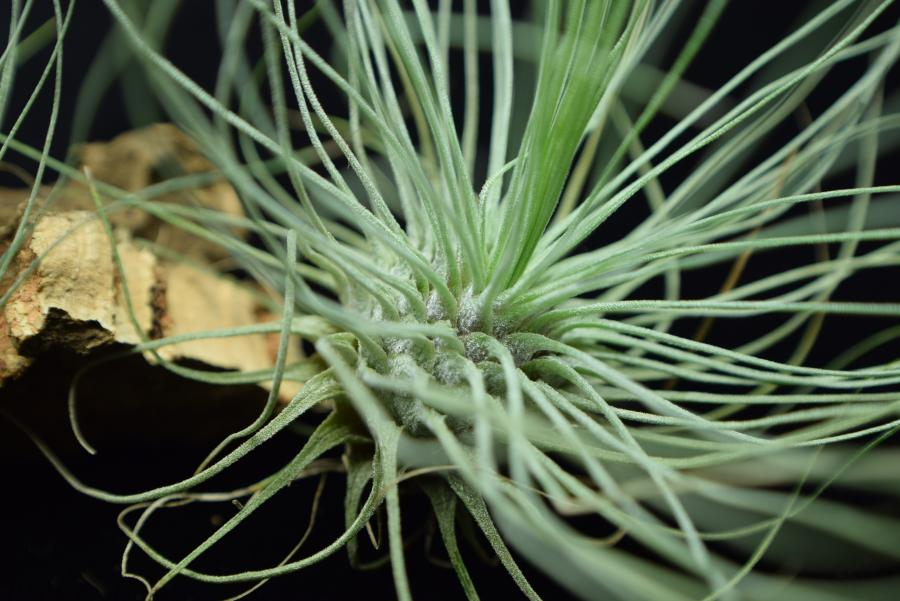 Leaves and interior of Tillandsia fuchsii var. gracilis covered in trichomes.