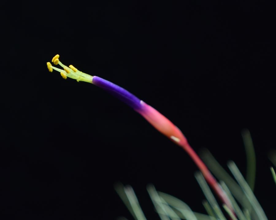 Close up of Tillandsia fuchsii var. gracilis flower.