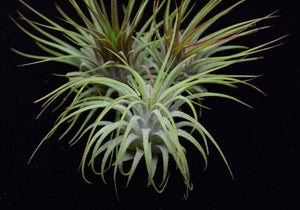 Close up of the air plant Tillandsia ionantha Guatemala.