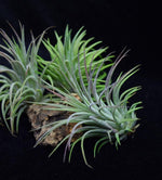 Load image into Gallery viewer, Close up of Tillandsia ionantha Rubra plant.