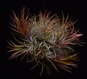 Large cluster of 7-10 air plants. Tillandsia ioanantha 'Fuego' is a cultivar that grows vibrant red leaves all year.