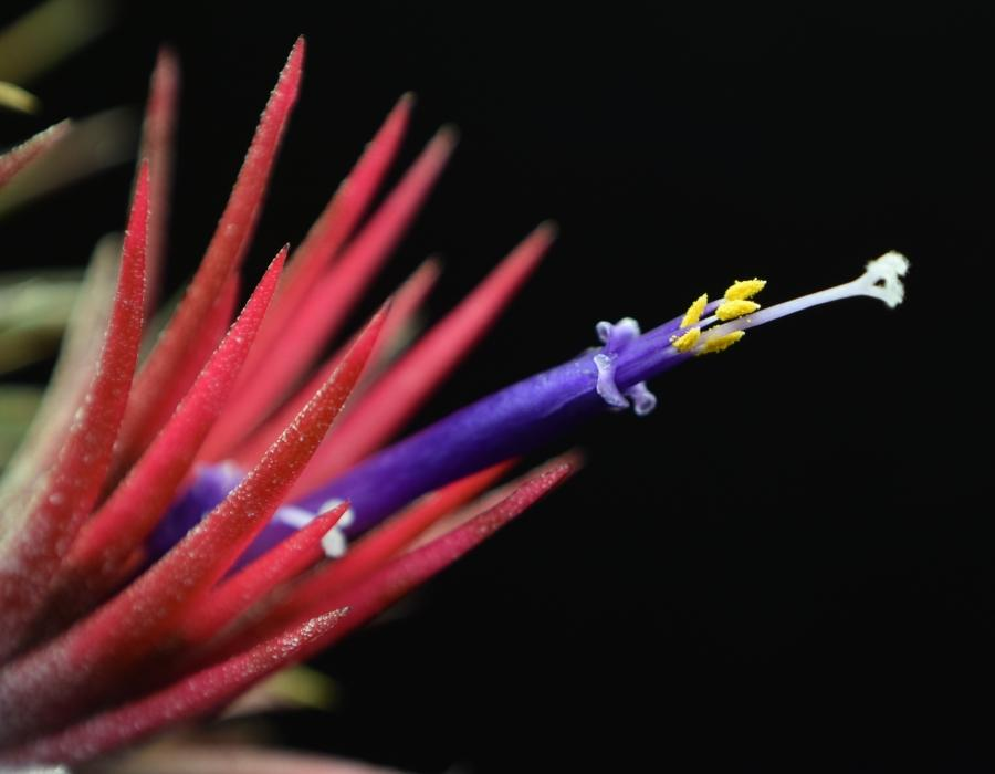 Close up of Tillandsia ionantha 'Fuego' flower.