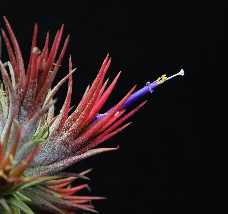 Air plant Tillandsia ionantha 'Fuego' in bloom.