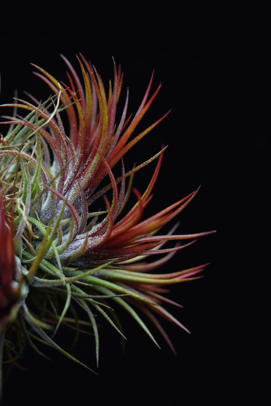 Two Tillandsia ionantha 'Fuego' plants displaying intense red coloration and trichomes on the outside of the leaves.