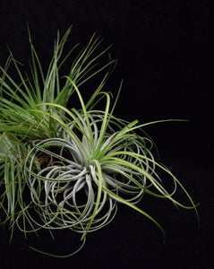 Group of air plants Tillandsia stricta.