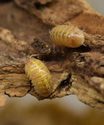 Load image into Gallery viewer, Armadillidium vulgare albino 'T Positive' - Isopods on a piece of cork bark.