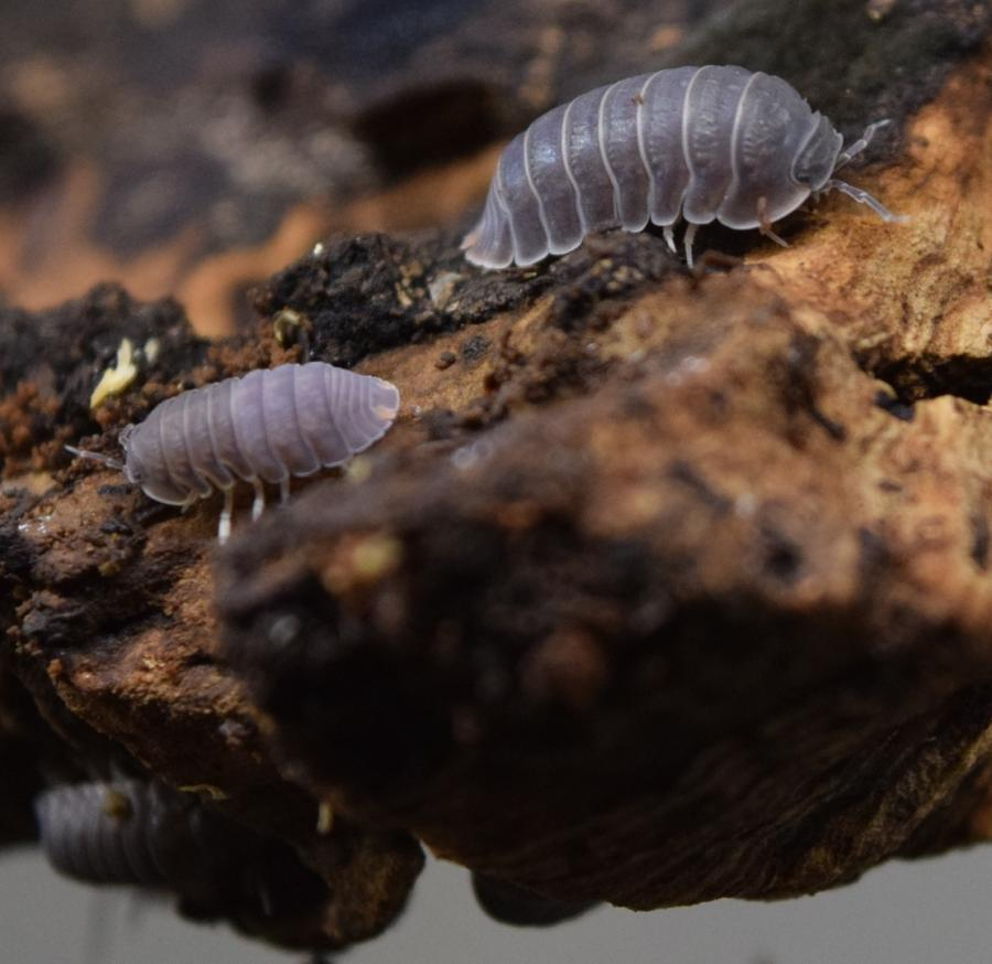 Two Cubaris murina 'Little Sea' Isopods on cork.