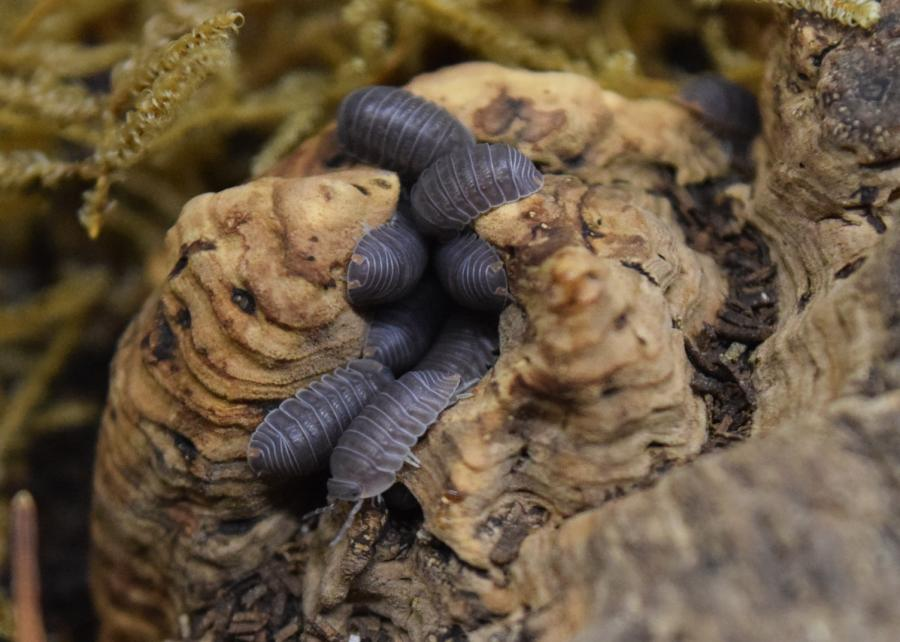 Group of Cubaris murina 'Little Sea' Isopods on cork with moss in the background.