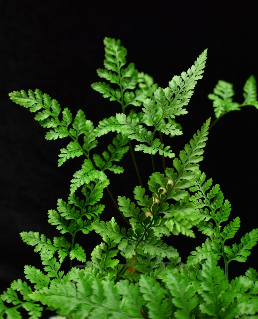 Compound leaves of Dvallia tyermanii, white paw fern.