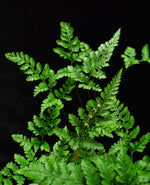 Load image into Gallery viewer, Compound leaves of Dvallia tyermanii, white paw fern.