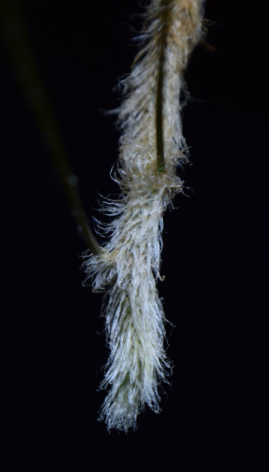 Close up of the hairs growing on Davallia tyermanii rhizome.
