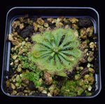 Load image into Gallery viewer, Drosera tokaiensis plants