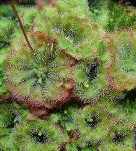 Group of Drosera tokaiensis plants