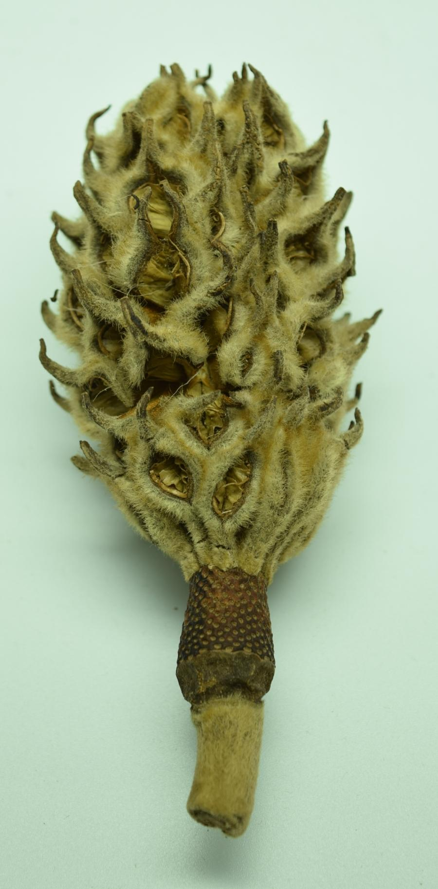 Magnolia seed pod pictured vertically.