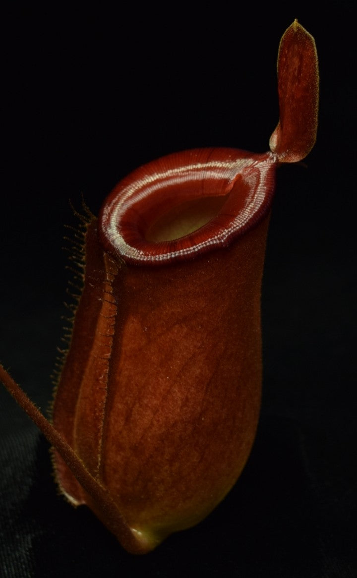 Close-up of a Nepenthes Lady Luck pitcher on black background.