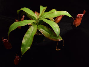 View of entire Nepenthes Lady Luck plant on black background.