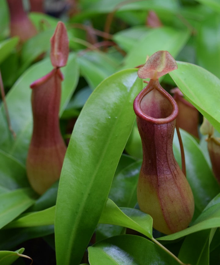 Nepenthes 'ventrata' pitchers