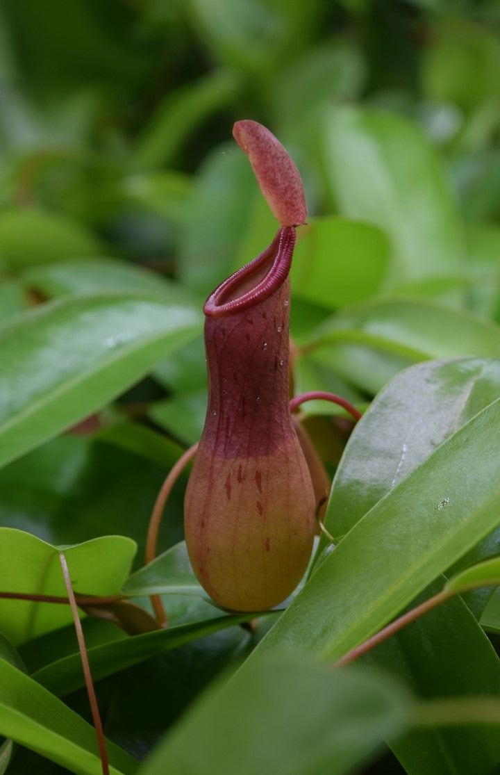 Close-up of Nepenthes 'ventrata' pitcher.