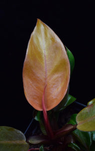 Close up of brightly colored Philodendron Prince of Orange Leaf.