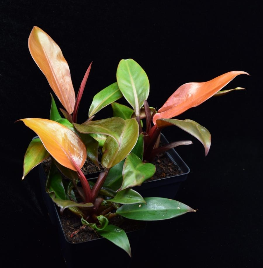 Group of three philodendron Prince of Orange plants.