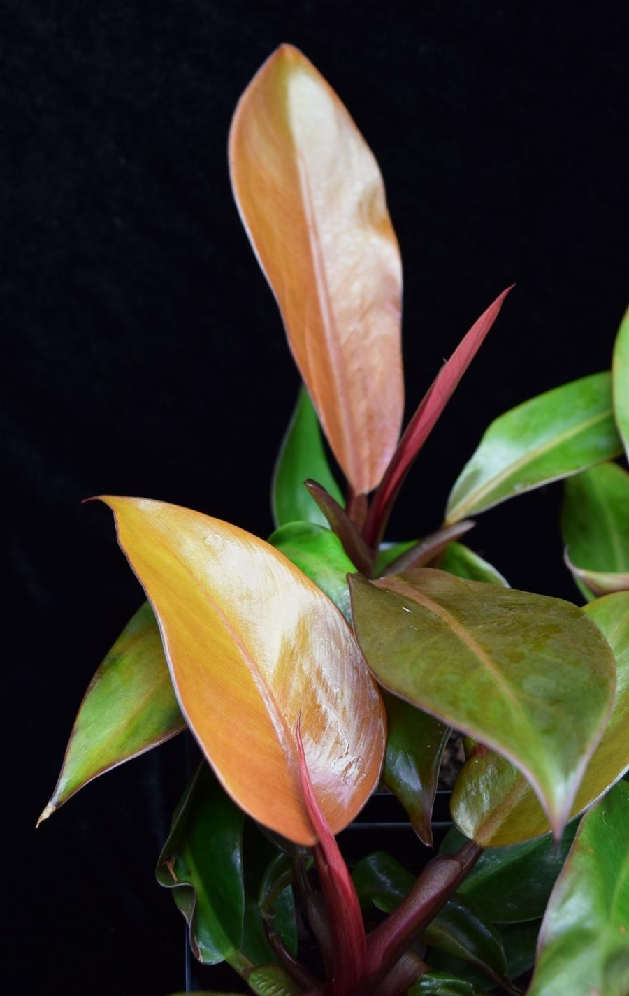 Newly formed leaves on Philodendron Prince of Orange.