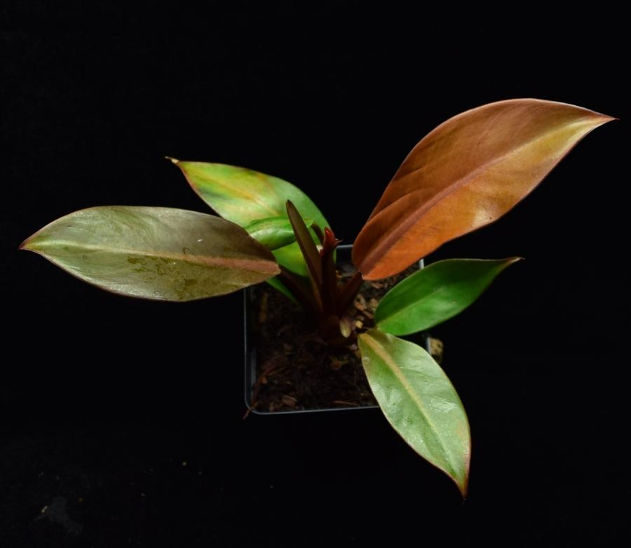 Overhead view of a single Philodendron Prince of Orange plant.