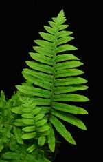 Load image into Gallery viewer, Single polypodium formosanum grub Fern frond.