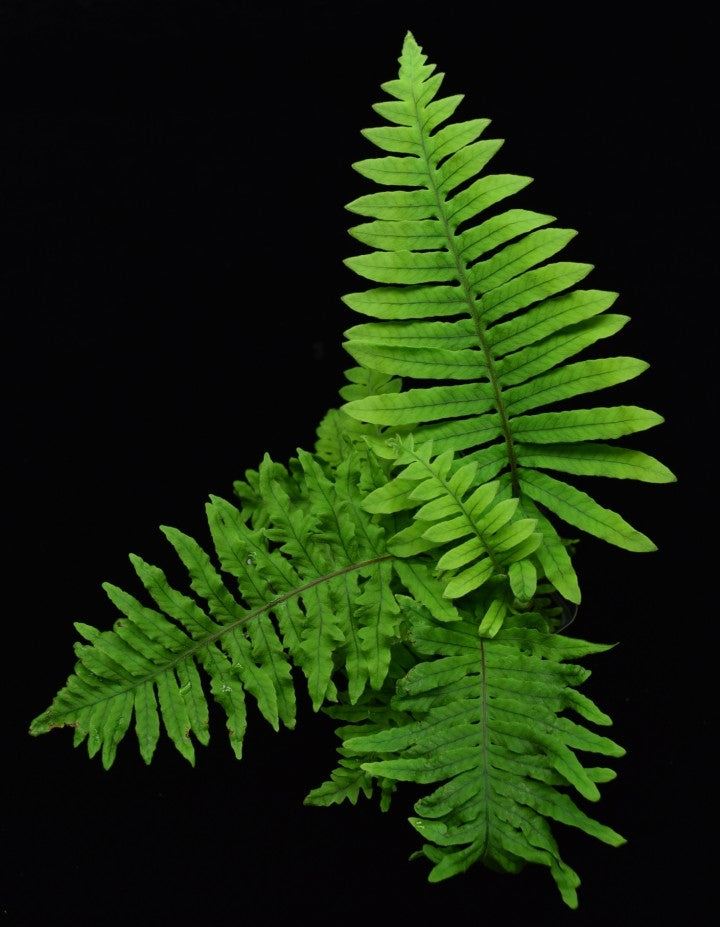 View of entire polypodium formosanum Caterpillar Fern.