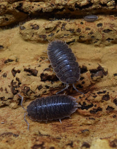 Porcellio dilatatus 'Giant Canyon' Isopods with juvenile / manca.