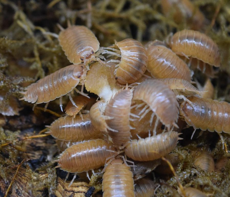 Group of Pocrcellio Leavis – 'Orange' - Isopods.