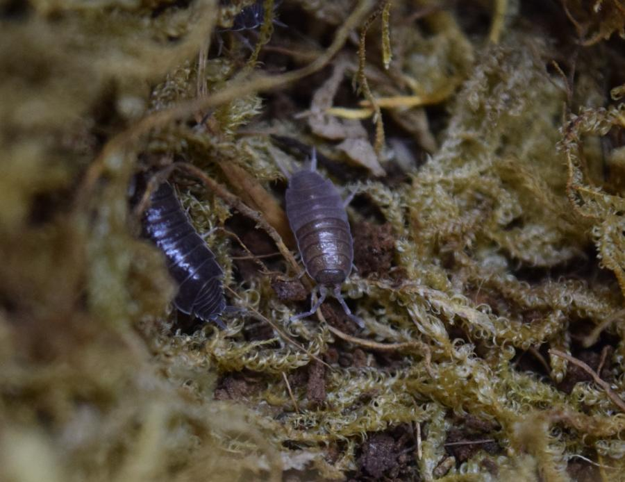 Porcellionides pruinosus 'Powder Blue' isopod crawling through some moss.