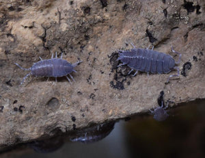 Porcellionides pruinosus 'Powder Blue' Isopods on cork bark.