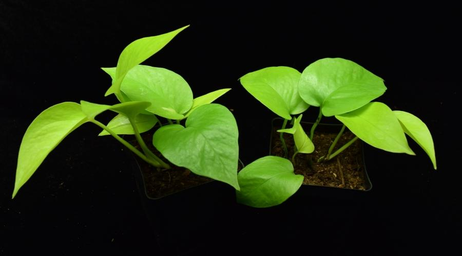 Profile view of Epipremnum pinnatum, Neon Pothos.