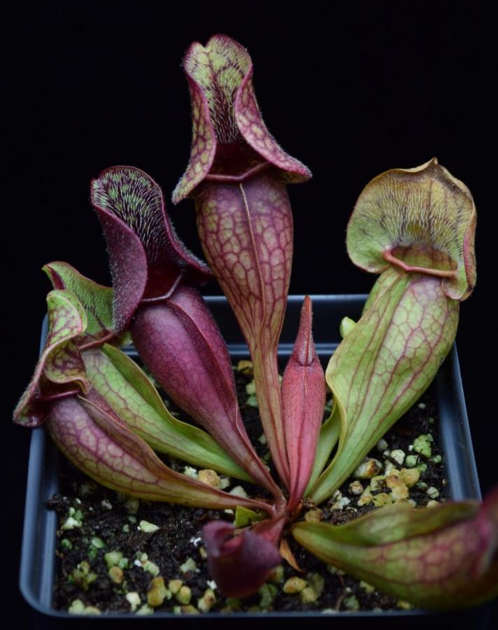 The Carnivorous pitcher plant Sarracenia 'Fat Chance' growing vibrant green pitchers with red veining.