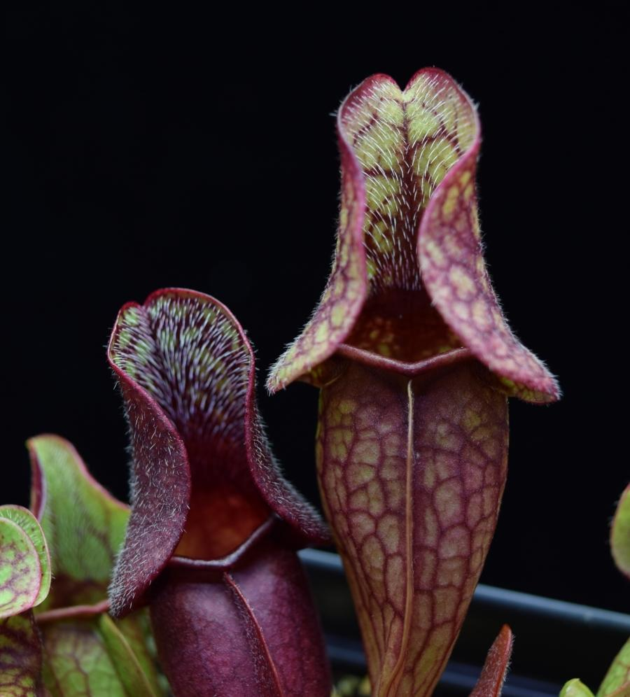 Hairs growing on the interior of the pitchers of Sarracenia 'Fat Chance'.