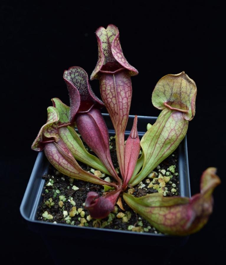 "Example of Sarracenia 'Fat Chance' for sale. Growing in a 3.25"" pot."