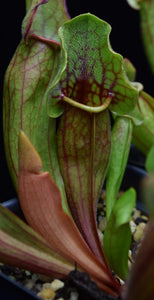 New Sarracenia 'Yellow Jacket' leaf growing alongside older pitcher  with bright green and red coloration.
