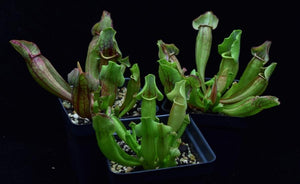 Group of three carnivorous pitcher plants Sarracenia 'Yellow Jacket'.