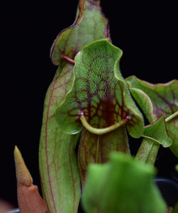 Close up of the hairs lining the interior of Sarracenia 'Yellow Jacket' pitcher.